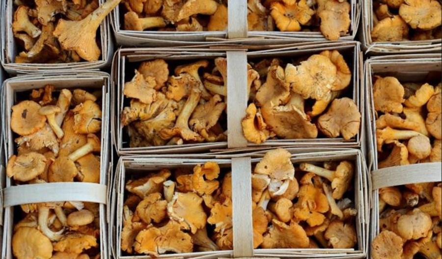 Fracht FWO dostarcza kilka ton świeżych kurek do USA