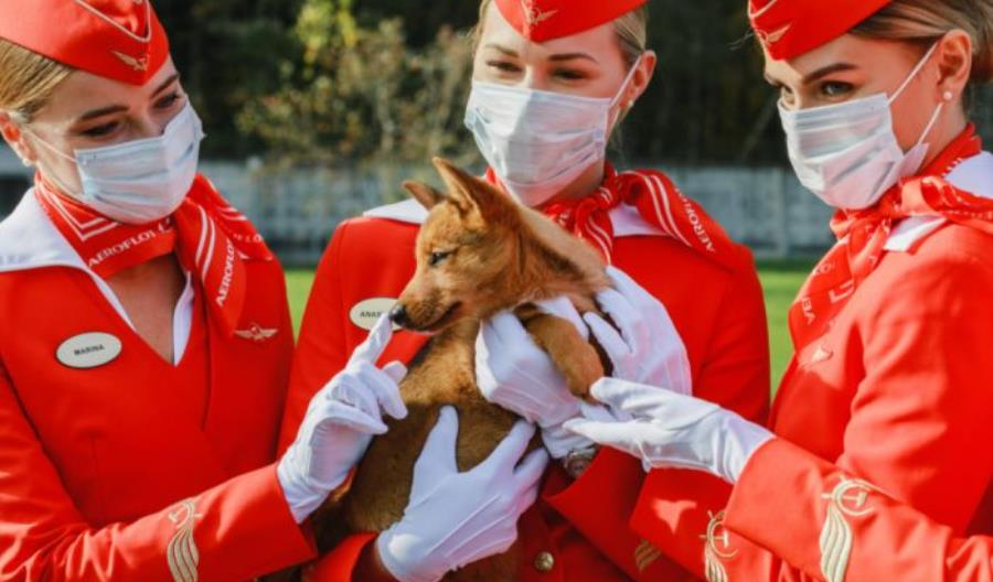 Aerofłot też wykorzysta szkolone psy do wykrywania COVID-19