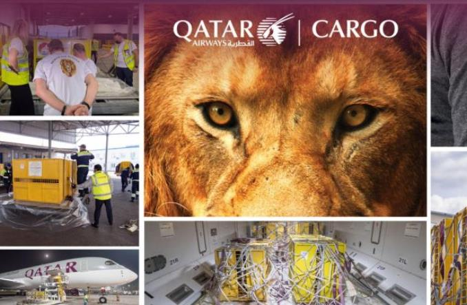 Qatar Airways Cargo pomogły w przelocie lwów do RPA